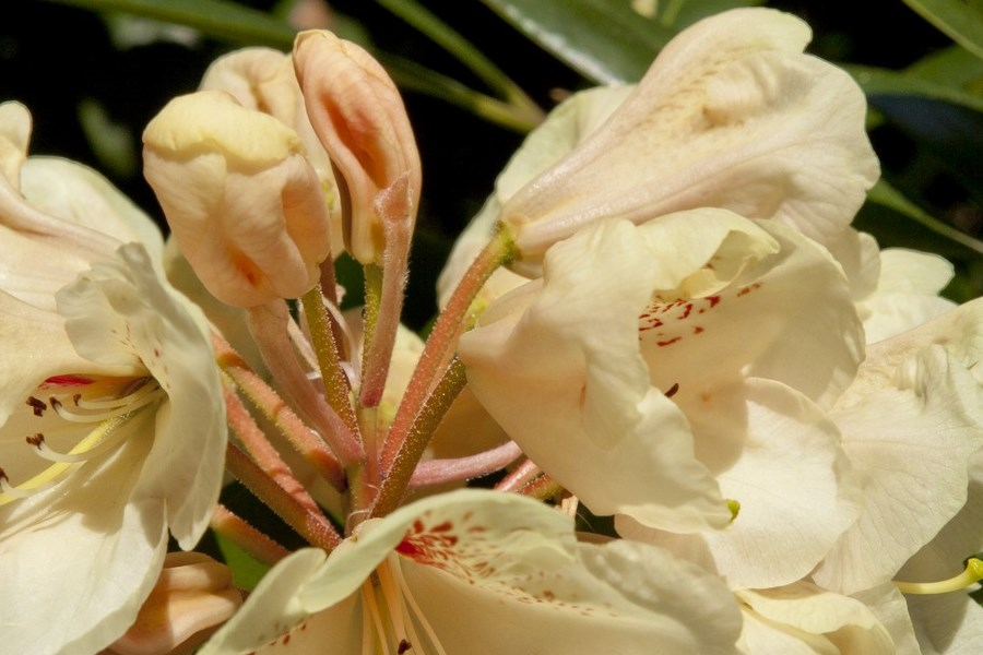 choroby różaneczników